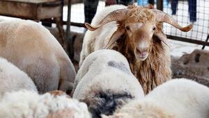 Türkiyenin hayvan varlığı 70 milyona yaklaştı