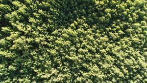 Titrek kavak ormanları Erciyese nefes oluyor