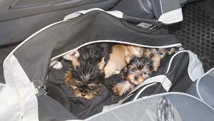 Kapıkulede yolcunun çantasından 11 köpek yavrusu çıktı