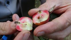 İçi dışı kırmızı elmaya coğrafi işaret tescili