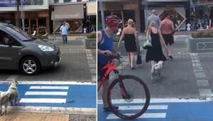 Sosyal medyada çok konuşuldu Köpek yeşil ışığı bekledi
