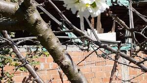 Ekim ayında, çiçek açan kiraz ağacı şaşırttı