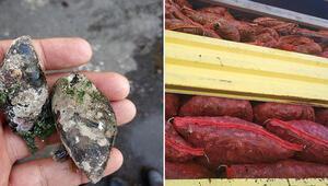 Tam 8 ton sağlıksız midye imha edildi