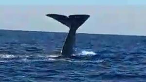 Alaçatı açıklarında balina görüntülendi İzmirde olması...