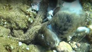 Yer Çanakkale... İnanılmaz Ahtapot, tavşanı yerken görüntülendi...