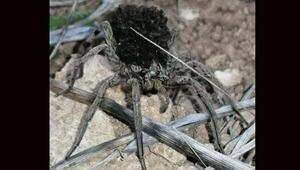 En tehlikeli 9 örümcek türünden biri Bilecikte görüldü