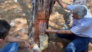 Silifke'de 8 ton reçine hasadı gerçekleştirildi