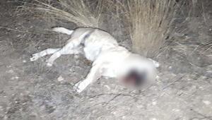 Ankarada korkunç olay Köpekler zehirli sosislerle öldürüldü iddiası