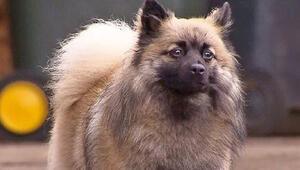 Kahraman köpek GuccI