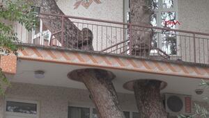 3 asırlık ağacın kolları balkondan geçiyor