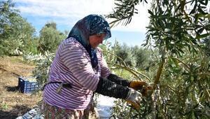 Üreticiden etkilendi zeytin fabrikası kurdu