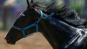 Şampiyon atlar satışa çıkıyor