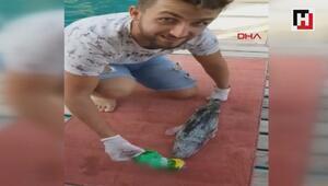 Balon balığının teneke içecek kutusunu yemesi şaşırttı