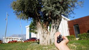 Taşınan 6 asırlık ağaç ilk meyvesini verdi