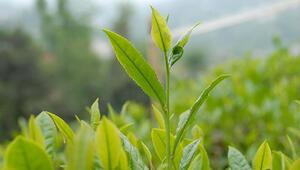 Çaykurdan çay çöpü önlemi
