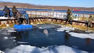 Rus Araştırma Enstitüsü son 50 beyaz balina serbest bırakılacak