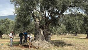Muğlada 3 bin yıllık zeytin ağacı