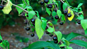 Atropa belladonna (zehirli ot) nedir