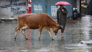 Hint siyasetçiden Hindistandaki ineklerin sütünde altın bulunduğu iddiası