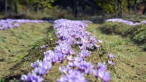 Mucize bitki Çubukta üretilmeye başlandı