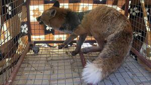 Tedavisi yapılan kızıl tilki ve pelikan yaşam alanına bırakıldı