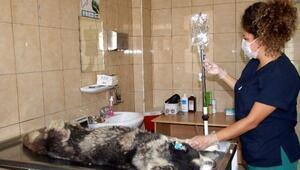 Kanserli sokak hayvanlarına kemoterapötik tedavi yöntemi