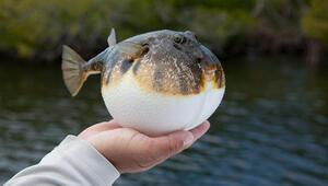 Balon Balığı Yenir mi Uzmanlar Açıkladı...