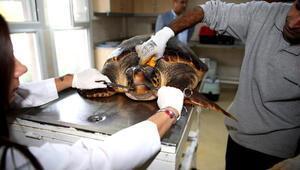 Kıyıya vuran kaplumbağa evine döndü
