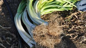 150 yıllık ata tohumlardan üretiliyor, lezzetine doyum olmuyor