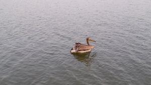Tekirdağda tedavi edilen pelikan doğaya salındı