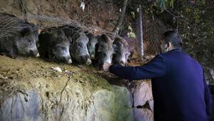 Son dakika haberler: Sarıyerli vatandaşlar, mahallelerine inen yaban domuzlarını besliyor