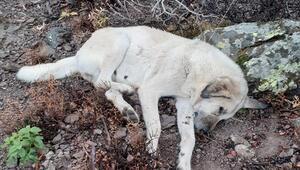 Hayvan hırsızları köpekleri zehirledi
