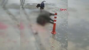 Acil servis bahçesinde panik; duvardan düşen domuz öldü