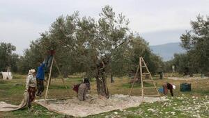 Orhangazide 2 ayda 95 kişi zeytin ağacından düştü