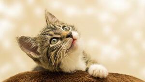 Rüyada kedi görmek ne anlama geliyor Rüyada yavru kedi görmenin tabiri