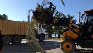 Palmiye kırmızı böceği hurma ağaçlarını vurdu