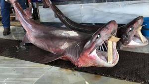 Tekirdağda 2 köpek balığı yakalandı