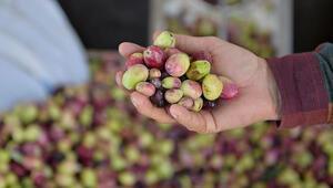 Yabani zeytinler ekonomiye kazandırılıyor