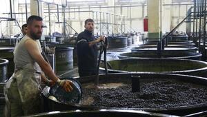 Orhangazi Kooperatifi, zeytinde 4 bin tonluk kotaya yaklaştı