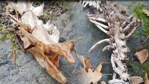 Trabzonda bulunan iskeletin ne olduğu ortaya çıktı