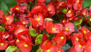 Begonya çiçeği nedir Begonya bakımı ve çeşitleri
