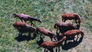 At ve eşeklere mikroçipli takip