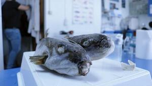 Eklem ağrıları için balon balığı