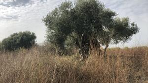 Anadolu medeniyetlerini doyuran zeytin ağacı koruma altında