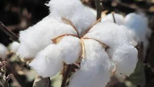 GAP sayesinde pamukta üretim alanı da istihdam da arttı