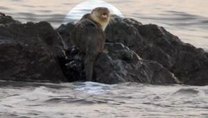 Marmara Denizinde su samuru heyecanı