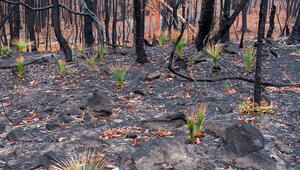 Avustralyada kül olan yerlerde bazı bitkiler yeniden çıkmaya başladı