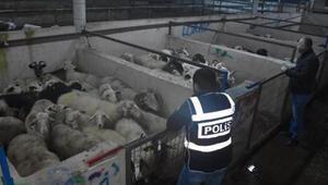 İzmir'den çalınan 80 küçükbaş hayvan, Bursa'da bulundu