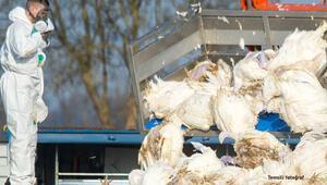 Macaristan'da kuş gribi paniği 53 bin hindi...
