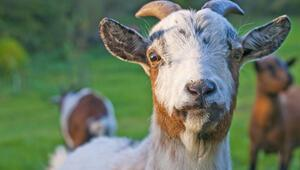 Rüyada keçi görmek ne anlama gelir Rüyada keçi sürüsü görmenin tabiri
